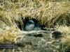 Zwerg-Pinguine, Phillip Island