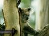 Koala im Koala Conservation Centre, Phillip Island