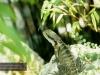 Sydney - Echse im Chinese Garden