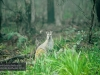 Wallaby, Blue Mountains