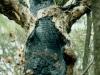ausgebrannter Eukalyptus