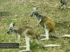 Red Kangaroo, Billabong Koala Breeding Centre, Port Macquarie