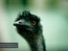 Emu, David Fleay Wildlife Park, Coolangatta
