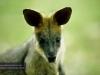 Wallaby, David Fleay Wildlife Park, Coolangatta