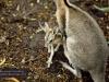 Battered nail-tail wallaby, David Fleay Wildlife Park, Coolangatta