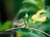 eierlegender Schmetterling, Brisbane, Botanischer Garten