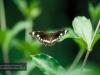 Schmetterling, Brisbane, Botanischer Garten