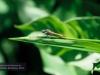 Libelle, Brisbane, Botanischer Garten