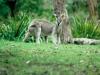 Kangaroo, Brisbane Forest Park