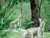 Kangaroos, Brisbane Forest Park