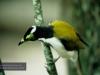 Honey-Eater, Eungella National Park