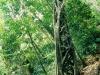 Strangler Fig, Daintree National Park