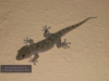 137_gecko1
